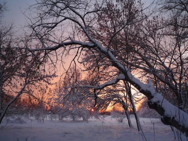 Az öreg vadcseresznye hátát hó takarja estére